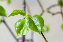 Young leaves of small-leaved lime Royalty Free Stock Photography