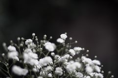 Spray of small white Gypsophila flowers with a shallow depth of field and copy space royalty free stock photography