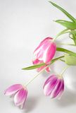 Spray of Tulips. A spray of pink and purple tulips, isolated on a white background Royalty Free Stock Photos