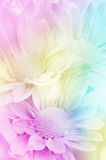 Spray Type of Chrysanthemum. Royalty Free Stock Images