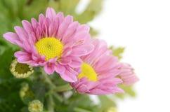 Spray Type of Pink Chrysanthemum in closed-up. Stock Image