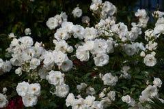 Spray of white floribunda roses bloom in garden setting. Spray of prolific white shrub roses `Iceberg` growing in a La Jolla, California garden. Rosa floribunda royalty free stock image