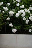 Spray of white floribunda roses bloom in garden setting. Spray of prolific white shrub roses `Iceberg` growing in a La Jolla, California garden. Rosa floribunda stock photos