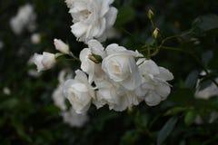 Spray of white floribunda roses bloom in garden setting. Spray of prolific white shrub roses `Iceberg` growing in a La Jolla, California garden. Rosa floribunda stock photo