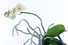 Orchid plant and erial roots on a white background. Spray of white and green flowers on a Phalaenopsis orchid plant and aerial roots growing in a white clay pot Stock Photos