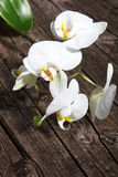 Spray of white phalaenopsis orchids Royalty Free Stock Photo