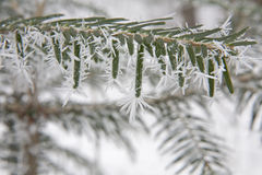 Spray of yew in the icing Stock Photography