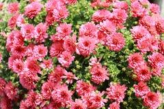 SprayChrysanthemum Arkivfoton