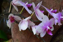 Sprayed purple/pink orchid contrast. Rock feature orchids with a healthy stem line Royalty Free Stock Photo