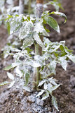 Sprayed tomato - Bordeaux mixture Royalty Free Stock Photo