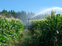 A sprayer spraying water in a cornfield royalty free stock photos