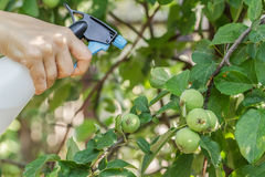 Spraying apple trees from pests Stock Photography
