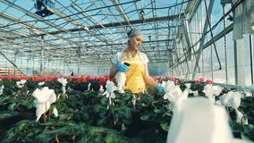 Spraying of blossoming flowers carried out by a female employee. 4K stock footage