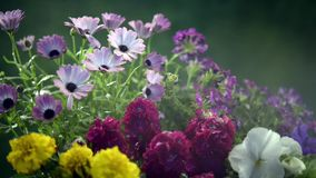 Spraying cold water on flowers stock footage