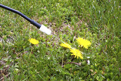 Spraying Dandelions Royalty Free Stock Image