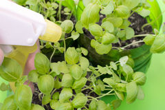 Spraying Fresh Green Basil Leaves Stock Photo