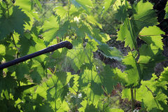 Spraying grape against pests and diseases. Spraying grape with garden hand sprayer against pests and diseases. Backlight Stock Image