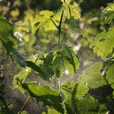 Grape plant treating in vineyard. Spraying grape plants in vineyard in spring or early summer, plant protection or nutrition work in late afternoon Stock Images