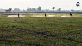 Spraying herbicides in the countryside. Workers employed farmers are going to spray herbicides on paddy fields in a rural area early morning stock image