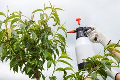 Spraying leaves fruit tree fungicide. Spraying of peach fruit tree which sick leaf curl Taphrina deformans by fungicides royalty free stock images