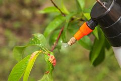 Spraying leaves fruit tree fungicide. Spraying of peach fruit tree which sick leaf curl Taphrina deformans by fungicides royalty free stock photography