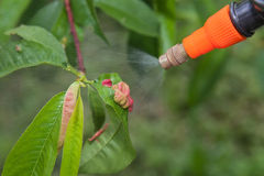 Spraying leaves fruit tree fungicide. Spraying of peach fruit tree which sick leaf curl (Taphrina deformans) by fungicides stock images