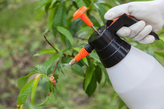 Spraying leaves fruit tree fungicide. Spraying of peach fruit tree which sick leaf curl (Taphrina deformans) by fungicides royalty free stock images