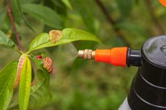Spraying leaves fruit tree fungicide. Spraying of peach fruit tree which sick leaf curl Taphrina deformans by fungicides royalty free stock image