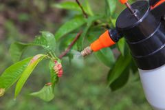 Spraying leaves fruit tree fungicide. Spraying of peach fruit tree which sick leaf curl Taphrina deformans by fungicides stock image