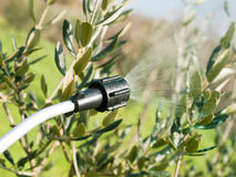 Spraying olive tree. S in winter time Royalty Free Stock Photo