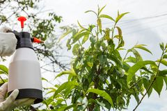 Spraying leaves fruit tree fungicide. Spraying of peach fruit tree which sick leaf curl Taphrina deformans by fungicides stock photography