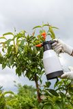 Spraying leaves fruit tree fungicide. Spraying of peach fruit tree which sick leaf curl Taphrina deformans by fungicides stock images