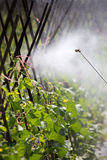 Spraying pesticide. In cantalupe garden royalty free stock image