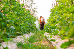 Spraying pesticide. In cantalupe garden stock image