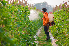Spraying pesticide. In cantalupe garden royalty free stock photo