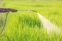 Spraying pesticide. In rice field stock image