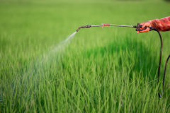 Spraying pesticide. In rice field royalty free stock image