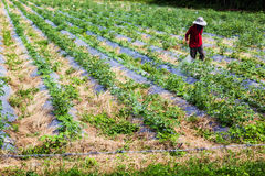 Spraying pesticides. Close up shot a man in the red shirt were spraying pesticides on the plant Royalty Free Stock Images