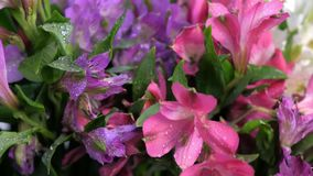 Spraying pink and purple azalea with water in flower shop to long-term storage.