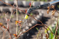 Protecting a bush of roses from vermin with pressure sprayer. Spraying plants with chemicals and protecting a bush of roses from vermin with pressure sprayer in Stock Images