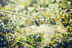 Protecting potatoes spray hand spray. Spraying potato plants with insecticide in garden Royalty Free Stock Photography