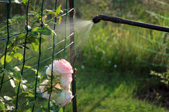 Spraying rose shrub with garden hand sprayer. Spraying rose shrub against pests and diseases with garden hand sprayer Stock Images