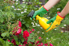 Spraying the roses. Spraying roses in a garden Stock Images