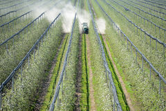 Spraying trees orchard. Spraying trees in fruit orchard against insect and deceases in spring Stock Image