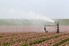 Spraying the tulip crop Stock Photography
