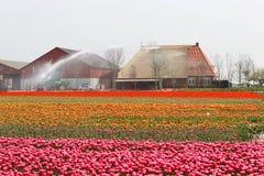 Spraying the tulip crop Royalty Free Stock Photos