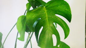 Spraying water on the green leaves stock video footage