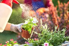 Spraying water on the pots with seedlings in the white wooden box on the table in the nursery-garden on a sunny day. stock images