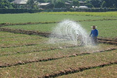 Spraying water in rice. Farmers are growing fertilizers in rice in Chiang Mai, Thailand on 12 December 2014 Royalty Free Stock Photos