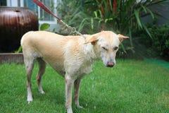Spraying water to shower cream dog Royalty Free Stock Image